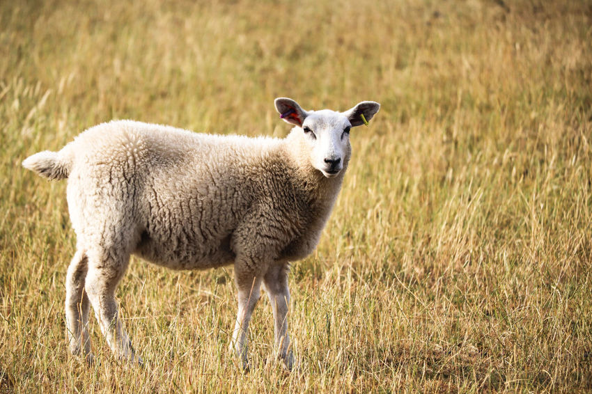 Sheep in grassy field. Farm Farmland Grass Lamb Animal Animal Themes Day Domestic Domestic Animals Field Grass Herbivorous Lambs Land Livestock Looking At Camera Mammal Nature No People One Animal Plant Sheep Standing Wool