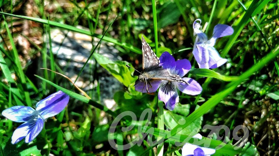 One Animal Insect Purple Animal Themes Animals In The Wild Fragility Flower Butterfly - Insect Nature Day Outdoors No People Plant Growth Animal Wildlife Beauty In Nature Close-up Flower Head Freshness Hasmasu Mare Romania Mountain View Green Color Pasture Landscape Forest