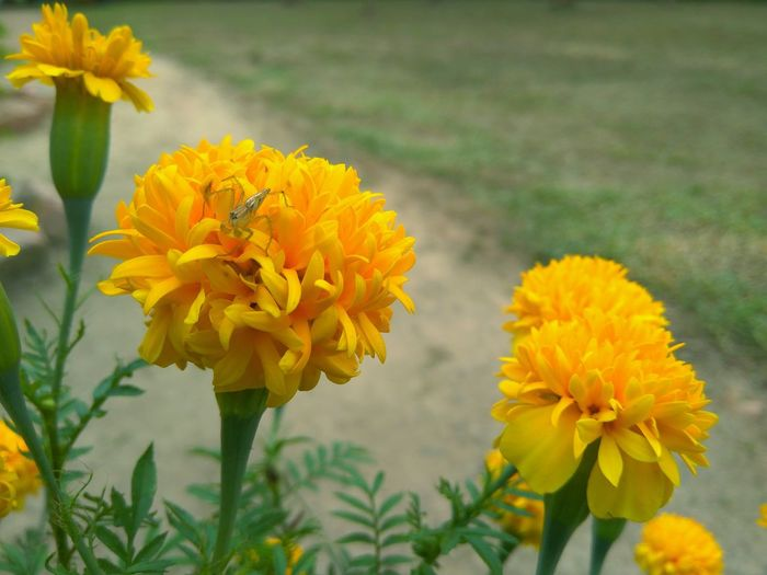 A spider on a yellow flower Green Earth Yellow Flower Yellow Color Yellow Colour Flower Head Flower Multi Colored Yellow Rural Scene Leaf Plant Part Summer Petal Botany Blossom Plant Life