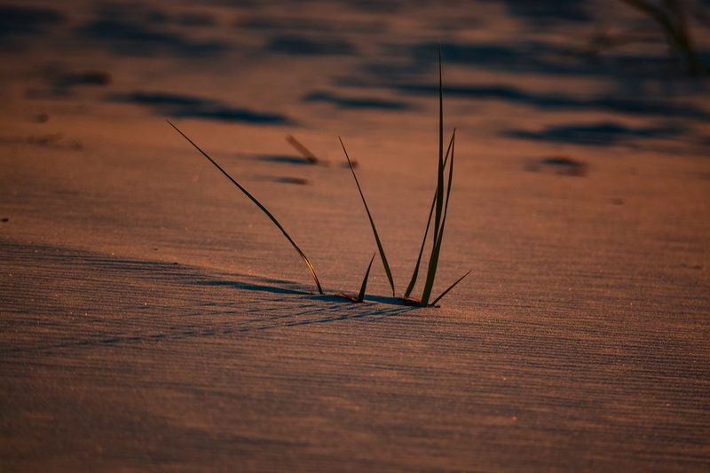 Close-up of grass on sand at desert