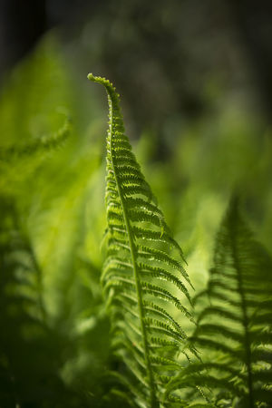 Fern Beauty In Nature Botany Close-up Fern Focus On Foreground Green Color Growth Leaf Leaves Natural Pattern Nature No People Outdoors Plant Plant Part Selective Focus Tranquility Vulnerability