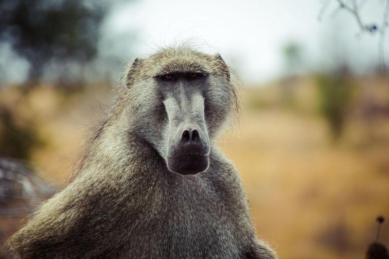 why so serious Serious Ape Monkey Primate Africa Animal Safari Wildlife Reserve Foraging East Africa Safari Animals Krüger National Park  Southern Africa Savannah