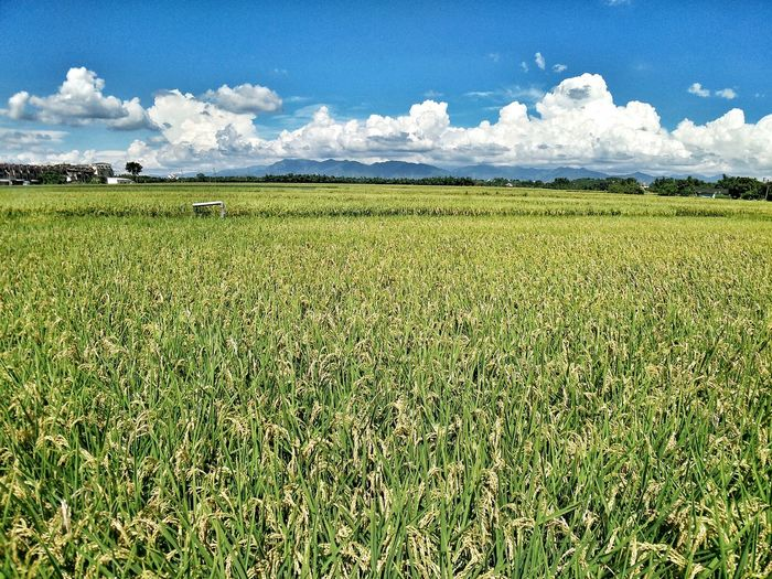 Nopeople Rice Field Summer Taiwan Low Angle View Beauty Cloud Nature Rice Beauty In Nature Rural Scene Agriculture Field Sky Grass Cloud - Sky Landscape Countryside Corn - Crop Country House Green Cereal Plant Grassland Greenery Cultivated Land Farmland Farm Crop  Sun Lounger Barley