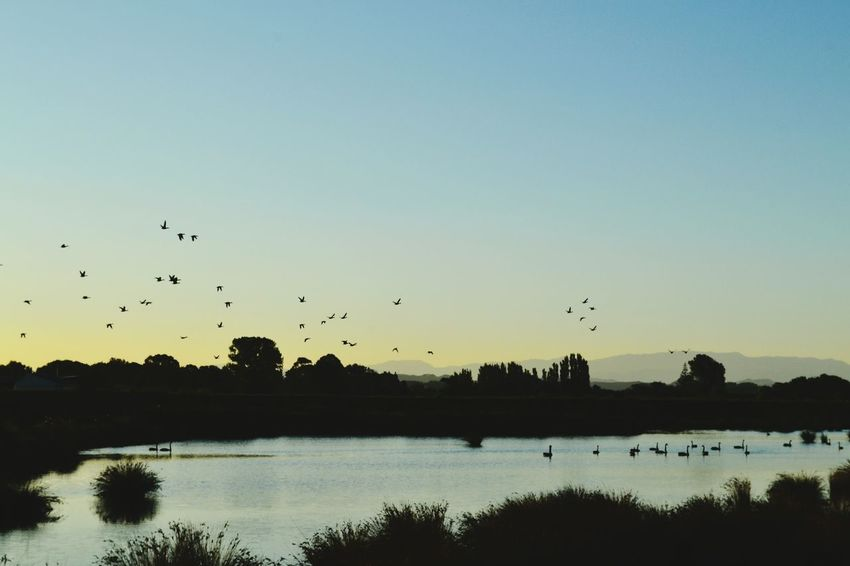 Sunset Silhouettes Flock Of Birds Birds In Flight Light And Shadow Low Light Golden Hour Golden Sunset Swans Pond Reflections And Water Ducks At The Lake Desktop Wallpaper