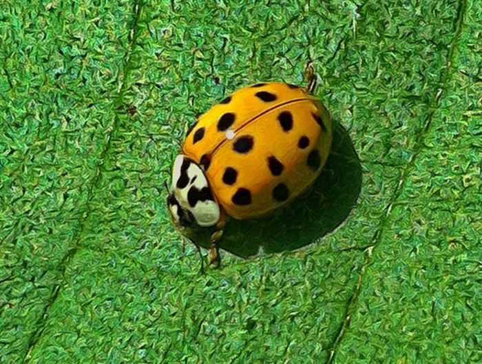 Ladybug Closeup Macro Bugs EyeEm Best Shots - Macro / Up Close EyeEm Best Shots Animals Macro_collection Jopesfotos - Animals