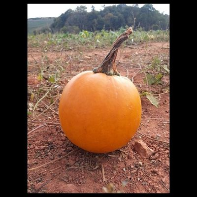 Pumpkin Patch! Drumhellersorchard Appleorchard Apple Samsung galaxy phone camera instagram pumpkin