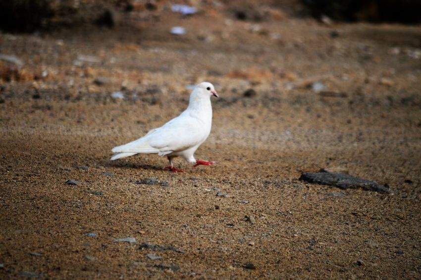 Animal Themes Bird Animal Animals In The Wild Animal Wildlife One Animal Vertebrate Land No People Nature White Color Day Perching Dove - Bird Seagull Sand Full Length Outdoors Selective Focus Beach