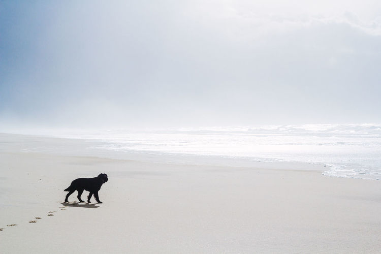 Animal Animal Themes Beach Beauty In Nature Black Dog Day Dog Domestic Animals Flat Coated Retriever Full Length Horizon Over Water Hunting Dog Mammal Nature No People One Animal Outdoors Pets Retriever Sand Sea Sky