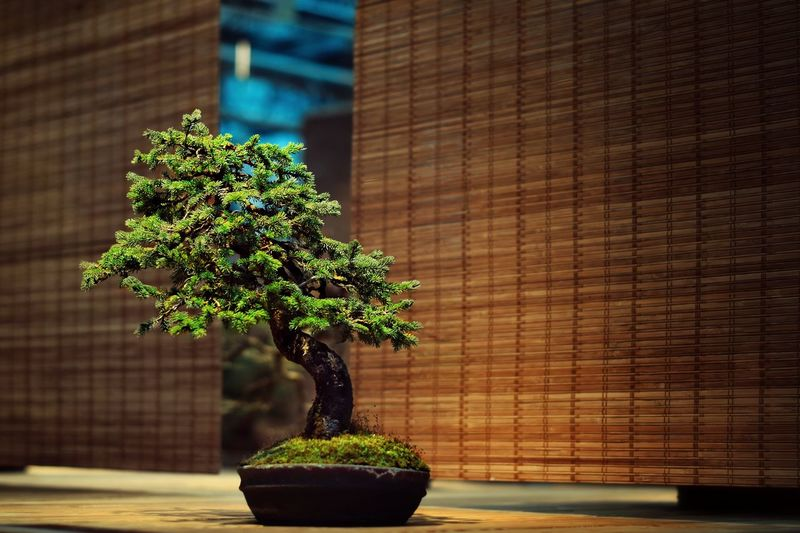 Bonsai Tree On Place Mat