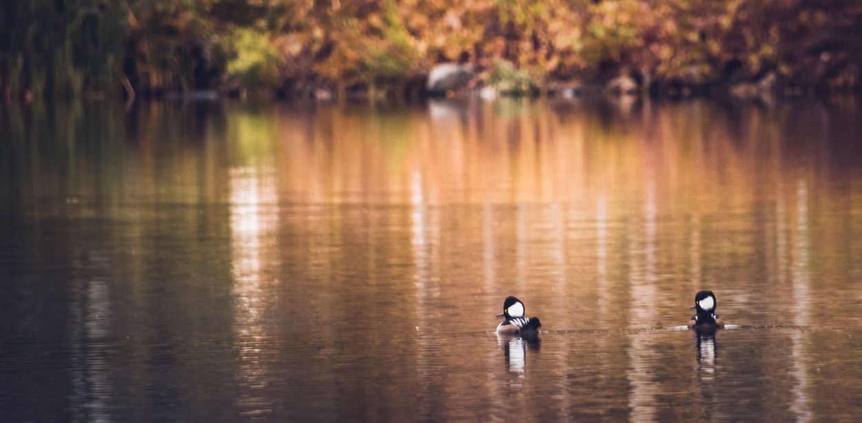 Autumn Colors Beauty In Nature Hooded Merganser Lake Nature Nature Photography Nature_collection Reflection Riverside Photography Tranquil Scene Wildlife & Nature Wildlife Photography