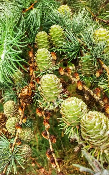 Tree Pine