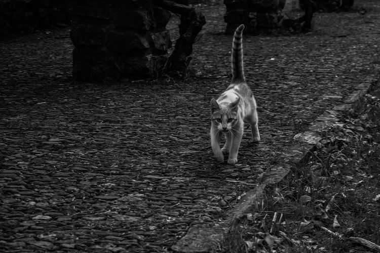 Cat Feline Domestic Animals Pets Domestic Cat Mammal One Animal Whisker Looking At Camera Cute Black And White Photography Black & White Black And White Focus On Foreground Field Animal Themes Plant Nature Land Full Length Bnw_friday_eyeemchallenge My Best Photo