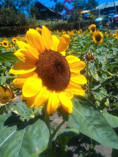 EyeEm Diversity EyeEmNewHere I Love Nature Sunflower Kawa Kawa Hill, Ligao City Sunflower Farm