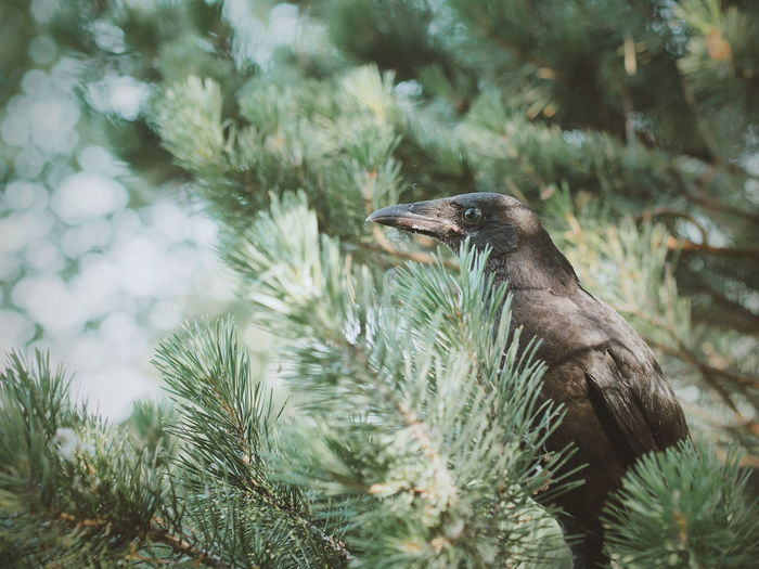 Crow on pine tree