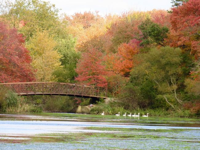 Landscape photography tranquil scene autumn in New York multicolored leaves bridge water swans swimming group of water birds at the preserve beauty in nature Nature No People