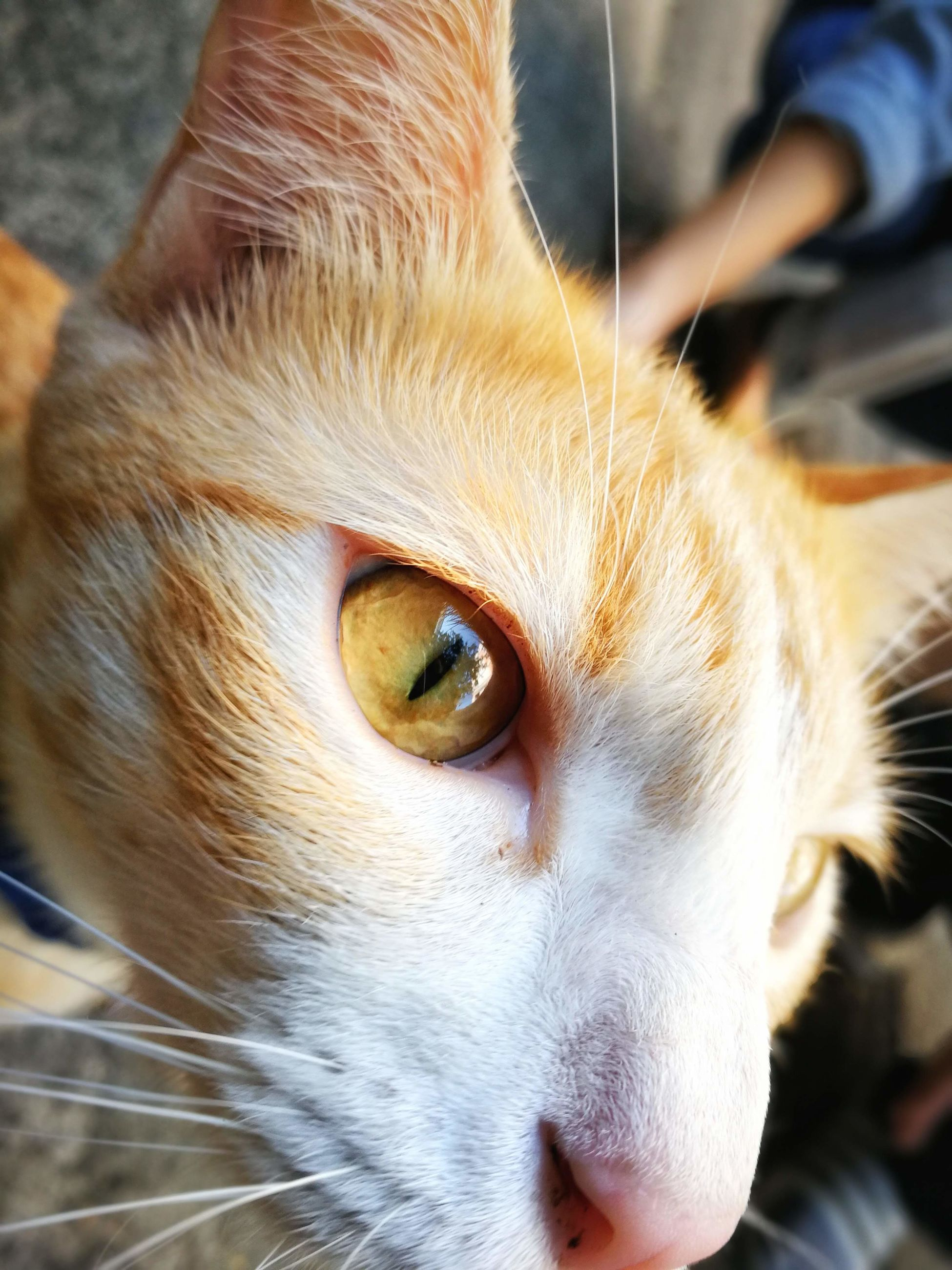 pet, cat, animal, animal themes, mammal, domestic animals, one animal, nose, domestic cat, close-up, whiskers, feline, animal body part, animal head, small to medium-sized cats, skin, eye, felidae, portrait, snout, animal eye, human eye, animal hair, carnivore, looking at camera, looking, cute
