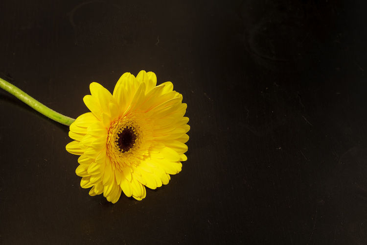 Bright yellow happy gerbera daisy flower Gerbera jamesonii on a black background Beauty In Nature Close-up Daisy Day Flower Flower Head Fragility Freshness Gerbera Gerbera Daisy Gerbera Jamesonii Isolated On Black Nature No People Outdoors Petal Petals Yellow Yellow Flower