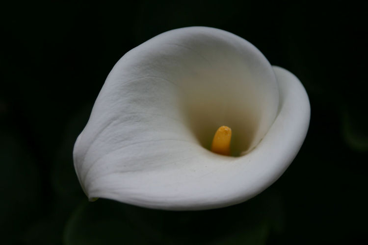 Beautiful Black Background Bokeh Close-up Cusco, Peru Detail Flower Single Flower Nature Calla Lily