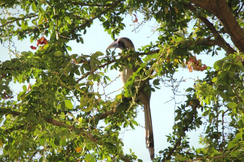 Birds_n_branches Birds🐦⛅ Bird Watching Birds_collection Bird Photography Hornbill In A Tree grey hornbill Grey Hornbill