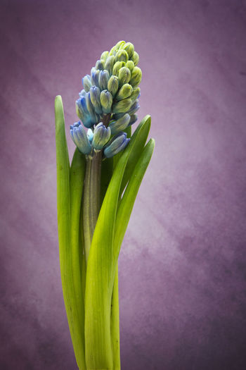Freshness Close-up Plant Colored Background Flower Flowering Plant Vulnerability  Fragility Studio Shot No People Beauty In Nature Green Color Nature Growth Indoors  Bud Petal Single Object Selective Focus Inflorescence Flower Head Purple Softness Hyacinth Still Life The Minimalist - 2019 EyeEm Awards