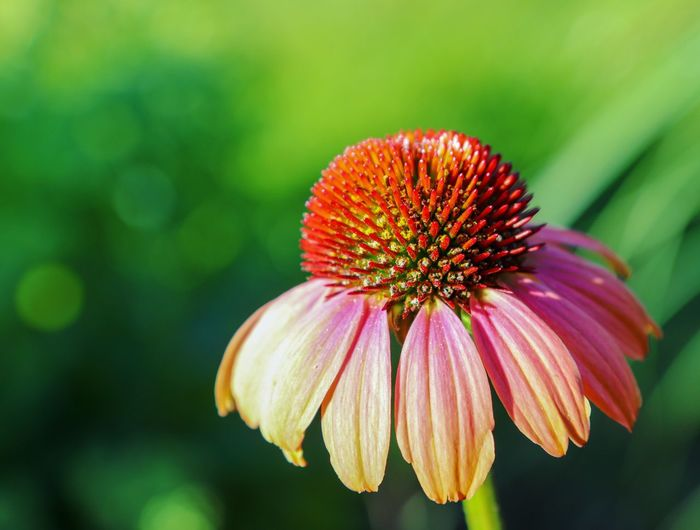 Beautiful colours Coneflower Bokeh Goldenhour Eastern Purple Coneflower Flower Head Flower Defocused Coneflower Petal Multi Colored Pink Color Close-up Plant