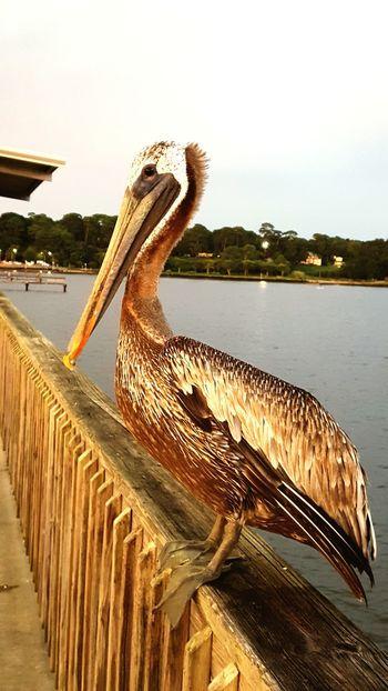First Eyeem Photo Fairhope Pier Pier Pelican Fairhope  Bird