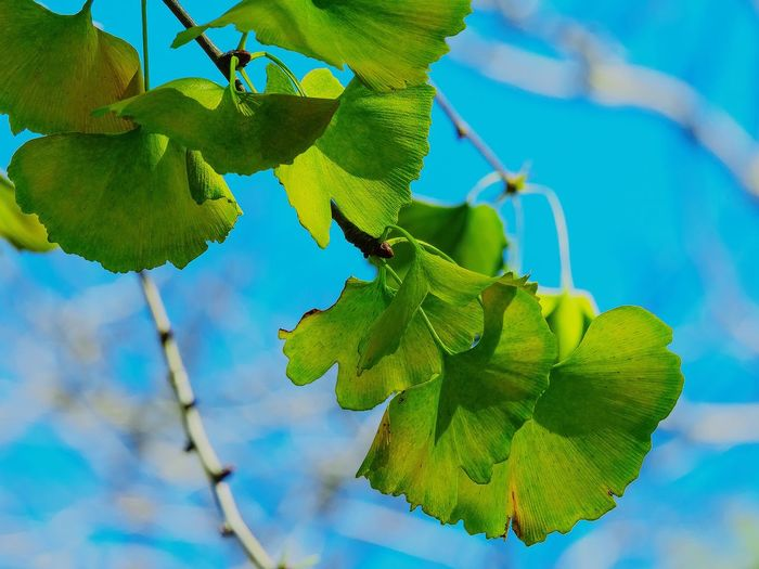 Close-up of ginkgo leaves growing on tree against sky
