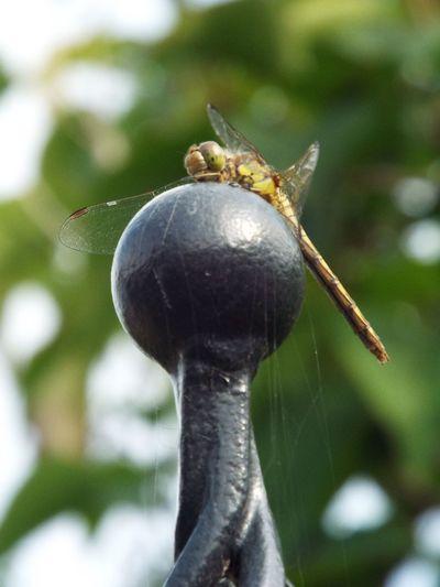 Garden visitor Dragonfly Garden Close-up