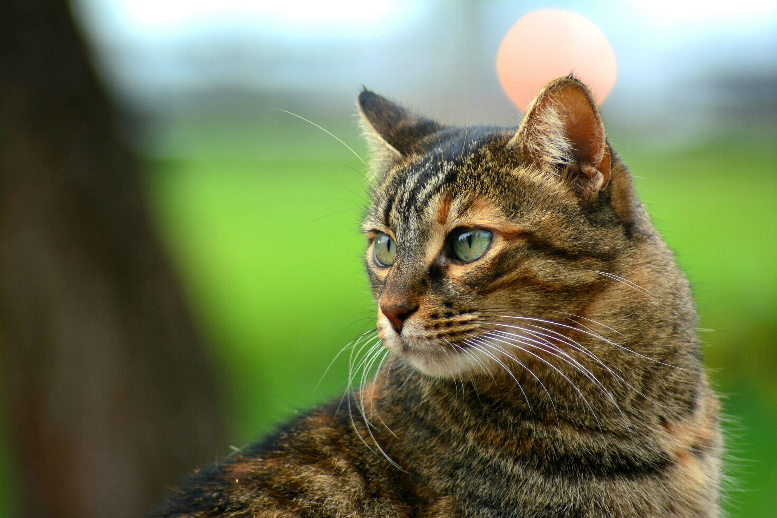 one animal, animal themes, domestic cat, pets, cat, domestic animals, whisker, feline, close-up, focus on foreground, mammal, looking away, animal head, alertness, animal eye, portrait, staring, curiosity, selective focus