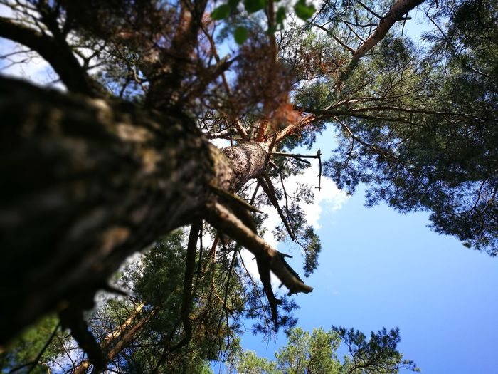 Tree Low Angle View Branch Tree Trunk Nature Growth Outdoors Sky Pinaceae Day Beauty In Nature No People Forest Tree Area Close-up