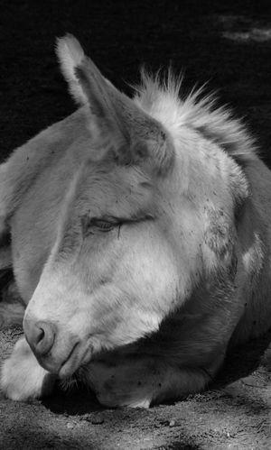 Donkey Albino Rare Beauty Equine One Animal Light And Shadow Nikon D5200 Animal Portrait Bnw_friday_eyeemchallenge Animal Themes No People BNW_farm_animals Bnw Blackandwhite Photography