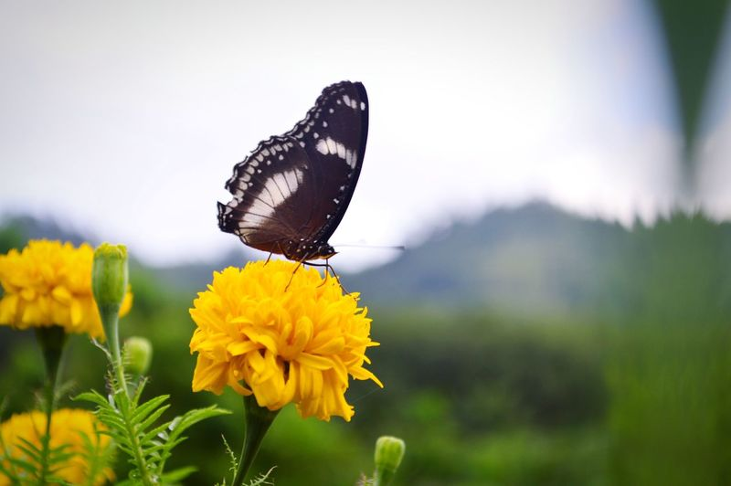 Close-Up Of Butterfly Pollinating On Yellow Flower