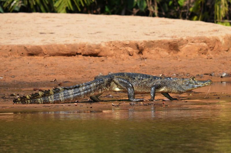 Side view of a crocodile with waterfront
