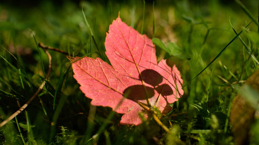 Close-up of maple leaf on grass
