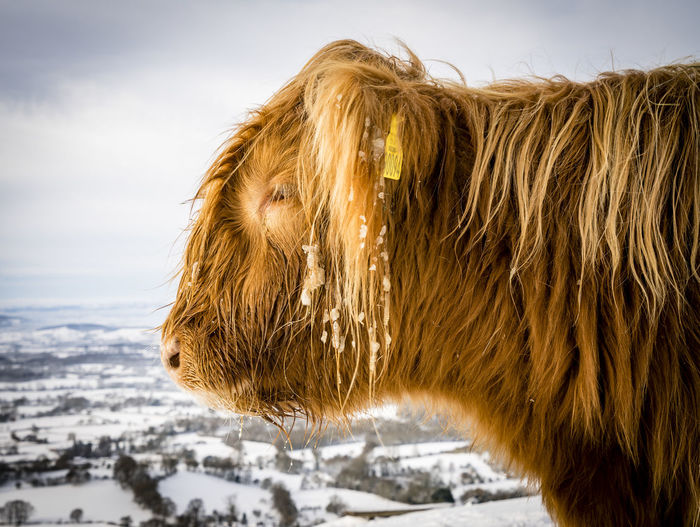 Scenes from Malvern after the early December 2017 snowfall. Britain Malvern Hills Snow ❄ Wintertime Animal Hair Animal Themes Close-up Day Domestic Animals Focus On Foreground Highland Cattle Mammal Nature No People One Animal Outdoors Pets Sky Snow Snowfall Uk Winter Worcestershire