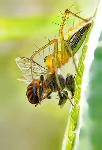 Close-up of bee pollinating