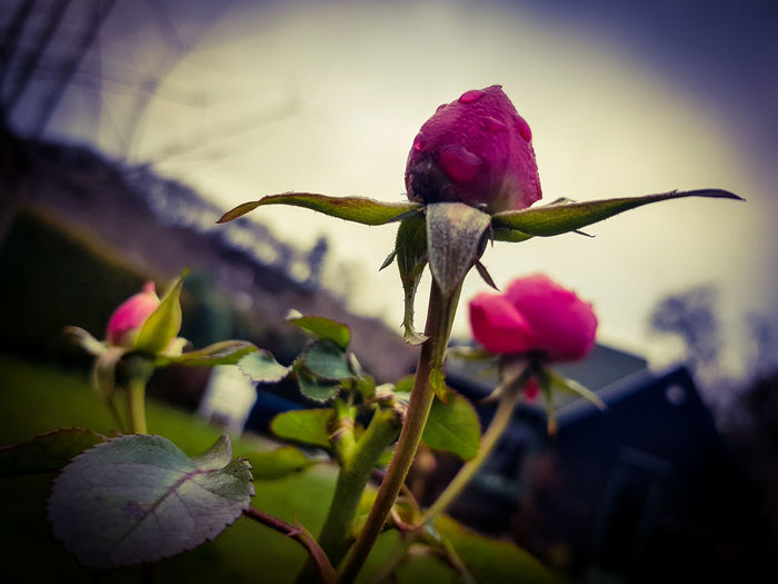 Survivors EyeEm Nature Lover OneLove EyeEm Gallery EyeEm Best Shots Bad Münstereifel, Germany Roses🌹 Wintermood Moody Flower Fragility Nature Plant Close-up Growth Petal Focus On Foreground Beauty In Nature No People Flower Head Freshness Day Pink Color Outdoors