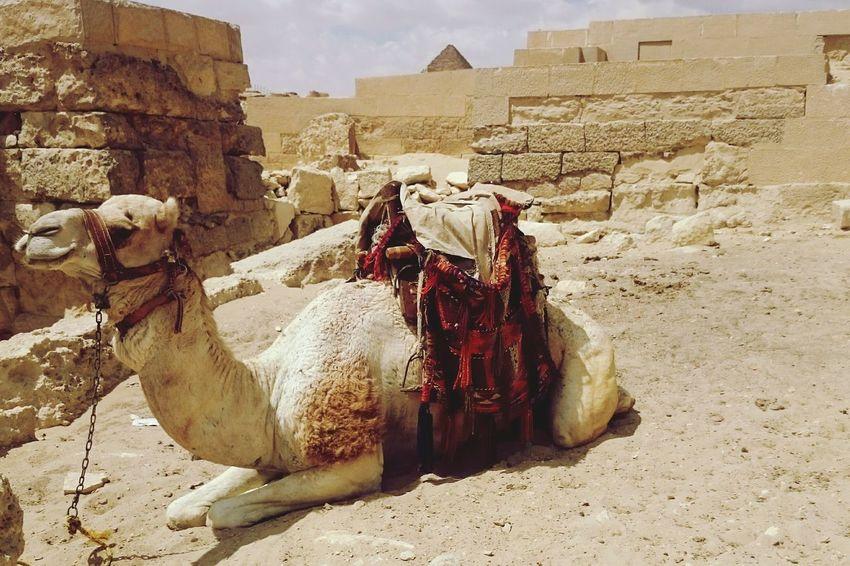 Egyptian Camel Pyramids Giza Egypt