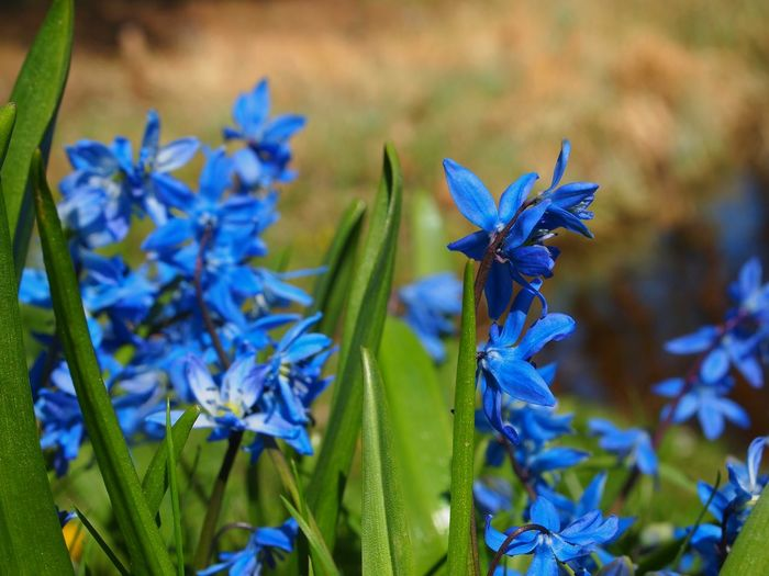 Scilla siberica Beauty In Nature Blue Close-up Day Down To Earth Flower Flower Collection Flower Head Fragility Freshness Groundperspective Growth Low Angle View Nature Nature_collection No People Outdoors Plant Scilla