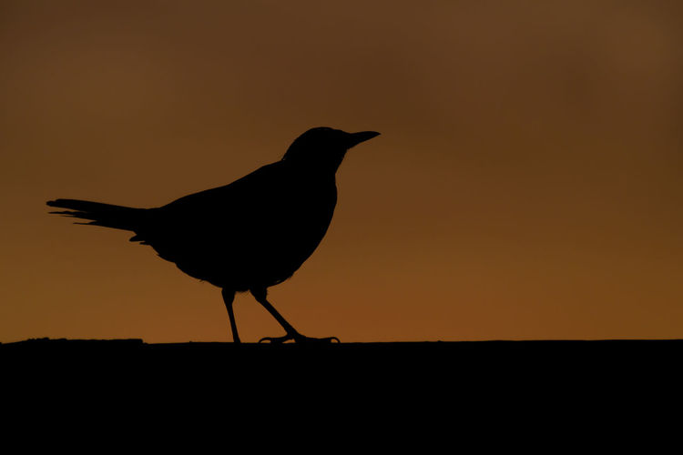 Silhouette bird perching on a land