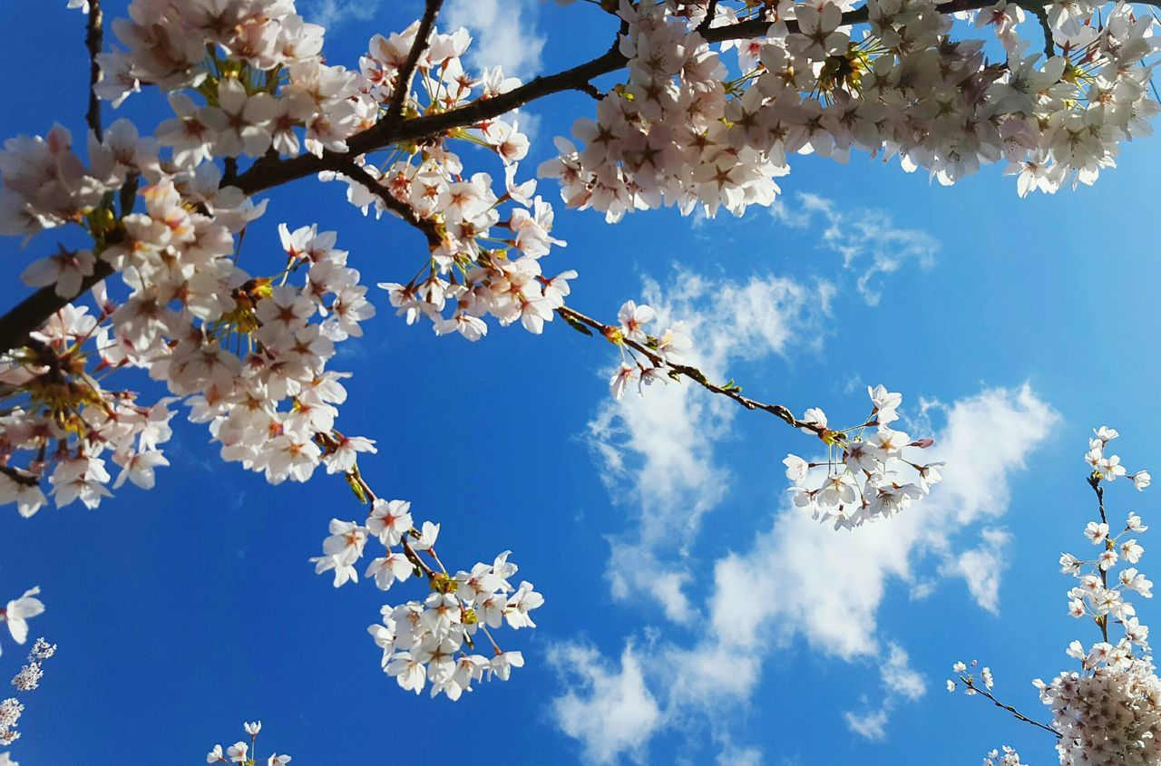Nature Sky Branch Day Outdoors Flowers Blooms Sky And Clouds Blossoms  Spring Looking Up Blue Sky Branches Cherry Blossoms Blue Sunny Day Beautiful Nature Plants And Flowers Life Growth Bright The Great Outdoors-2017