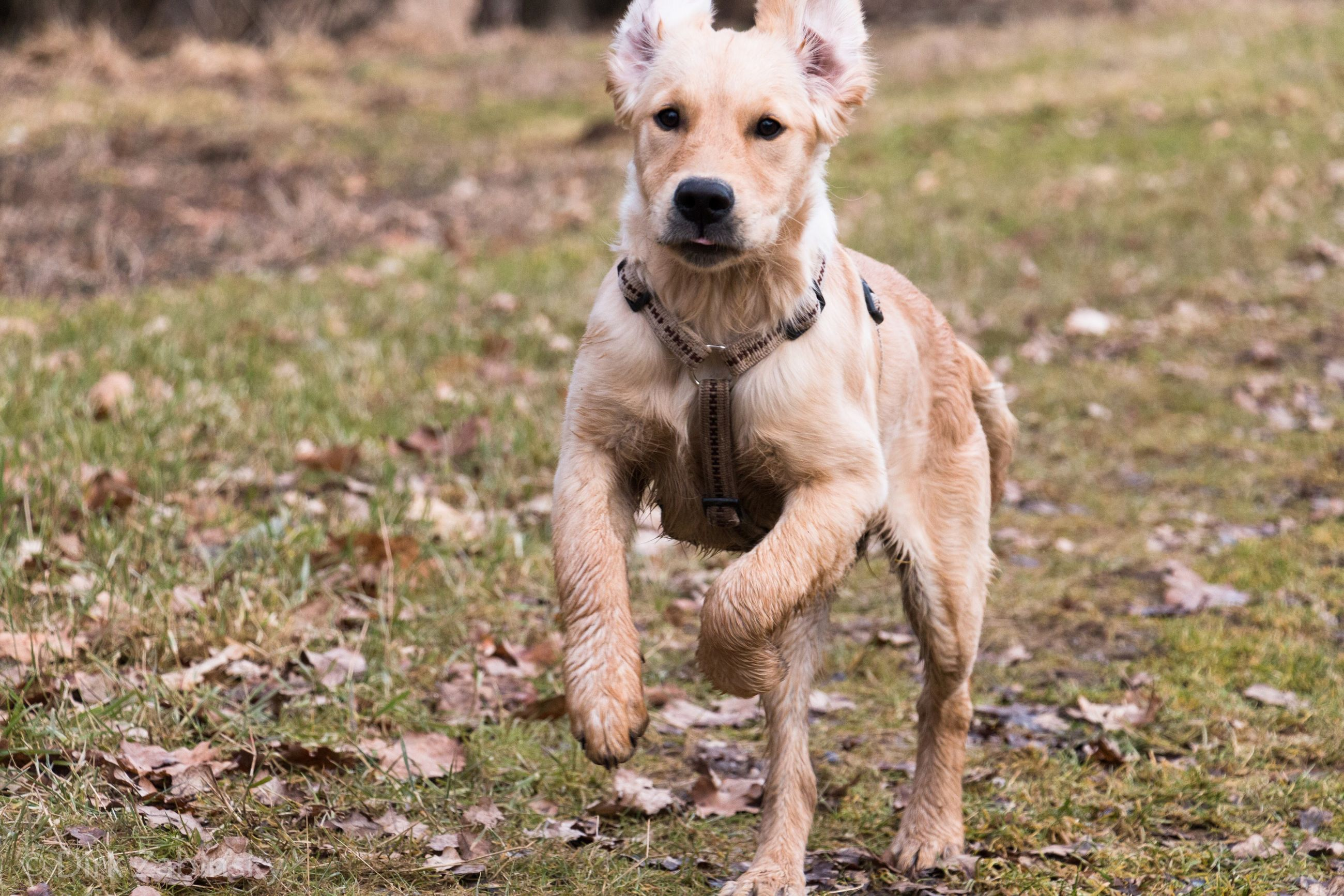 dog, one animal, pets, domestic animals, animal themes, looking at camera, mammal, portrait, running, field, outdoors, focus on foreground, day, grass, no people, nature, close-up