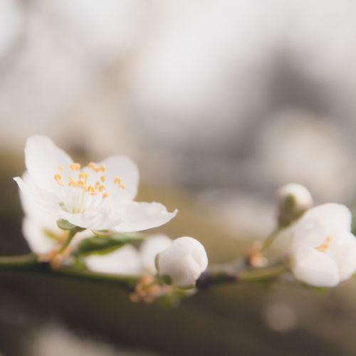 Apple Blossom