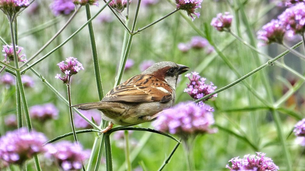 Sparrow in flower field Bird Sparrow Sparrow On A Branch Flowers Flower Field Purple Flower Full Frame Taking Photos EyeEm Nature Lover EyeEm Gallery Outdoors Scenics Nature Close-up Midsection EyeEm Selects Animals Tranquil Scene Selective Focus From My Point Of View