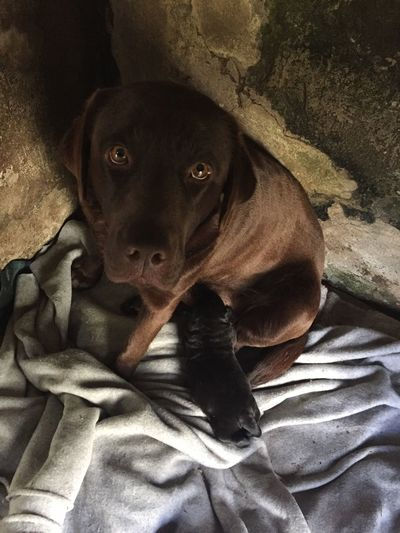 Brownie Dog Dogs Dog Love Dog❤ Dogslife DogLove Dogstagram Doglover Dogs Of EyeEm Labrador Labrador Retriever LabradorRetriever