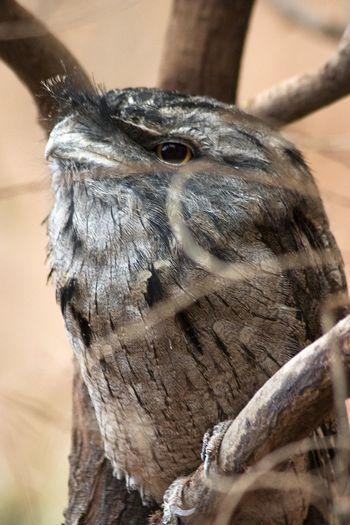 Animal Animal Body Part Animal Eye Animal Head  Animal Themes Animal Wildlife Animals In The Wild Beak Bird Bird Of Prey Branch Close-up Day Focus On Foreground Nature No People One Animal Outdoors Owl Tree Vertebrate Wood - Material