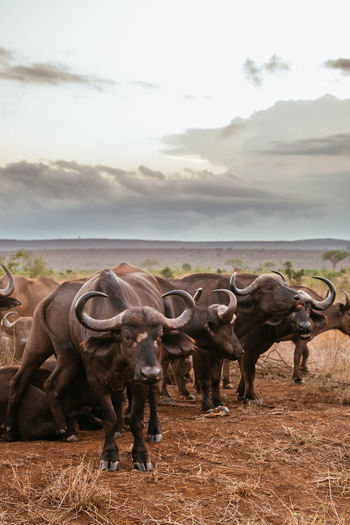 Water buffaloes on field during sunset