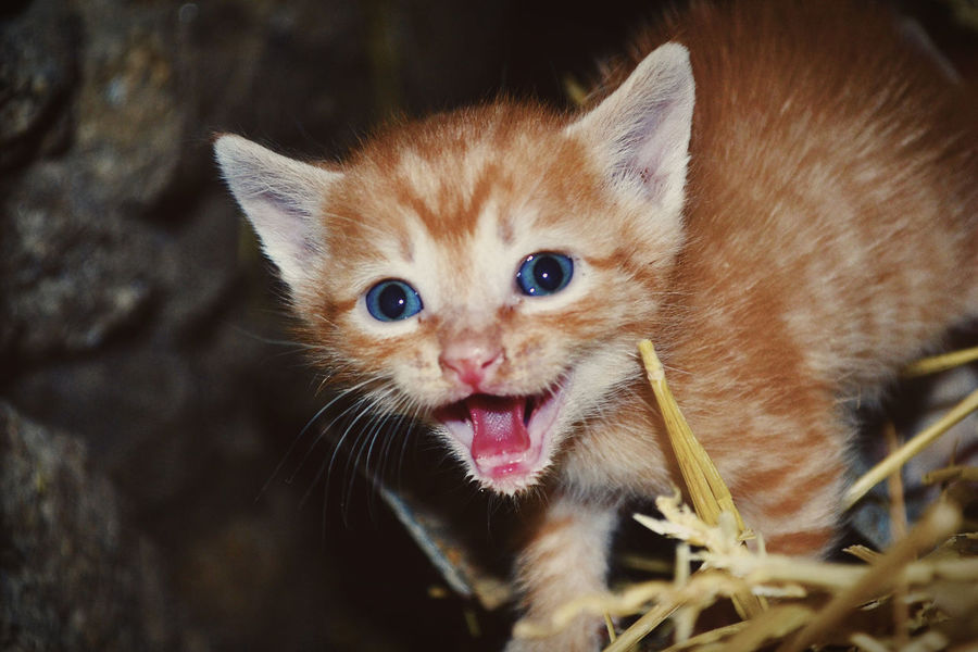 Animals In The Wild EyeEm Animal Lover EyeEmNewHere Gato Animal Themes Close-up Day Domestic Animals Domestic Cat Feline Looking At Camera Mammal Mascota No People One Animal Outdoors Pets Portrait Whisker