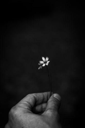 Close-up of hand holding dandelion against black background