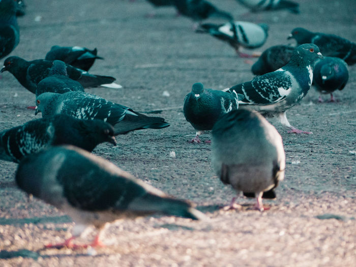 Close-up of pigeons on street